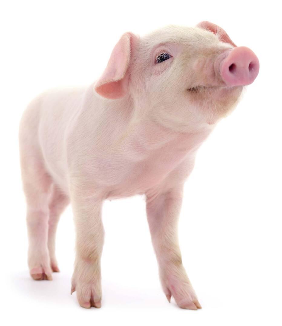 NEB Tierschutz für Lebenshöfe |Süsses Schwein