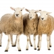 NEB Tierschutz in der Schweiz |Drei Schafe