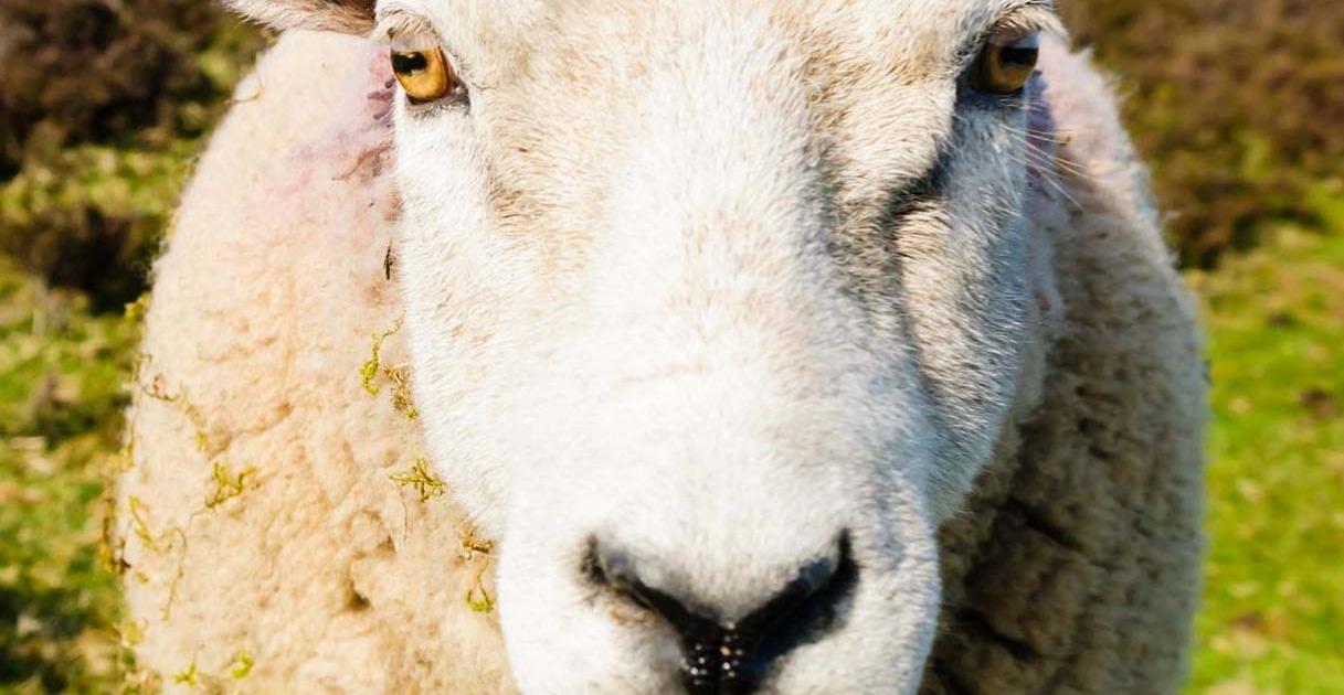 Tierhilfe in der Schweiz  Freundliches Schaf